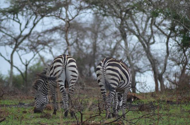 zebra-lake-mburo-2016
