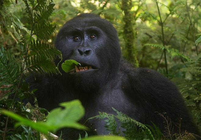 Mountain_Gorilla-25